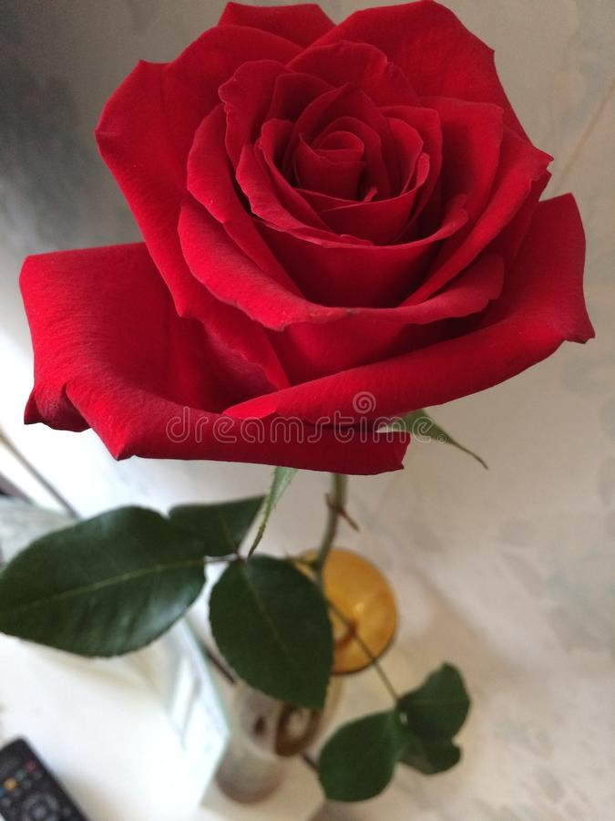 Red rose in a vase stock image