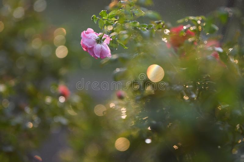 Red rose with warm light. Sunset in the park.Dark background royalty free stock images