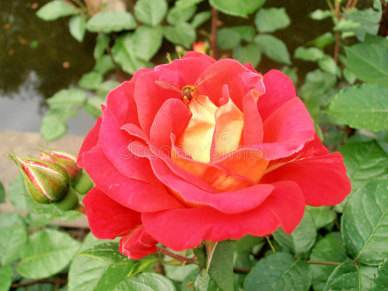 Red rose with wasp stock photography