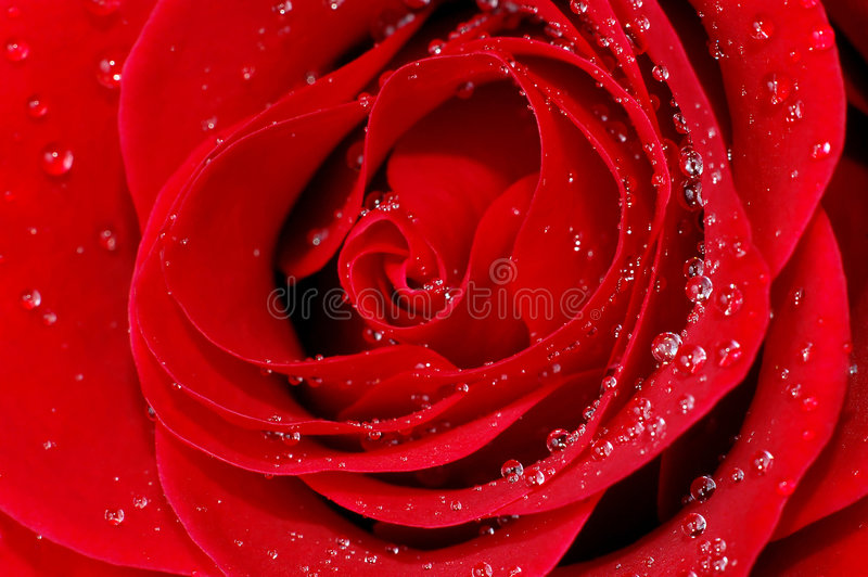 Red rose with water droplets stock images