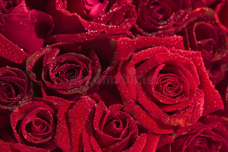 Download Red Rose Stock Photo - Image: 43529236