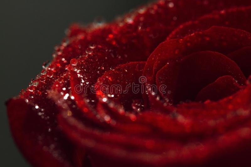Red rose with water drops close-up. Macro drops. Beautiful rose for the holiday. Scarlet rose flower macro photography royalty free stock images