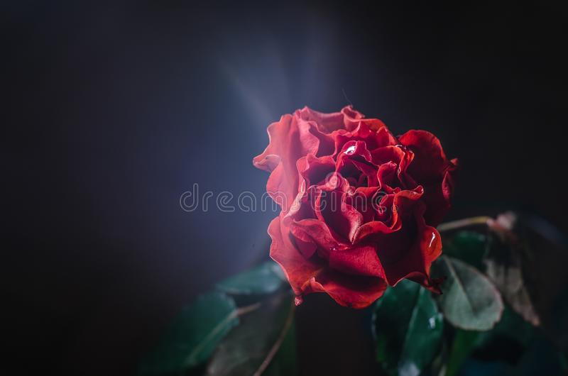 Red rose with wavy petals and drops of dew on black background. royalty free stock photography