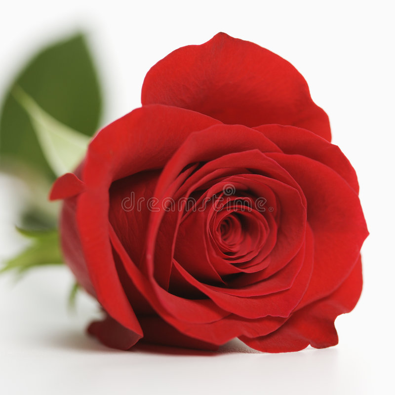 Red rose on white. stock images