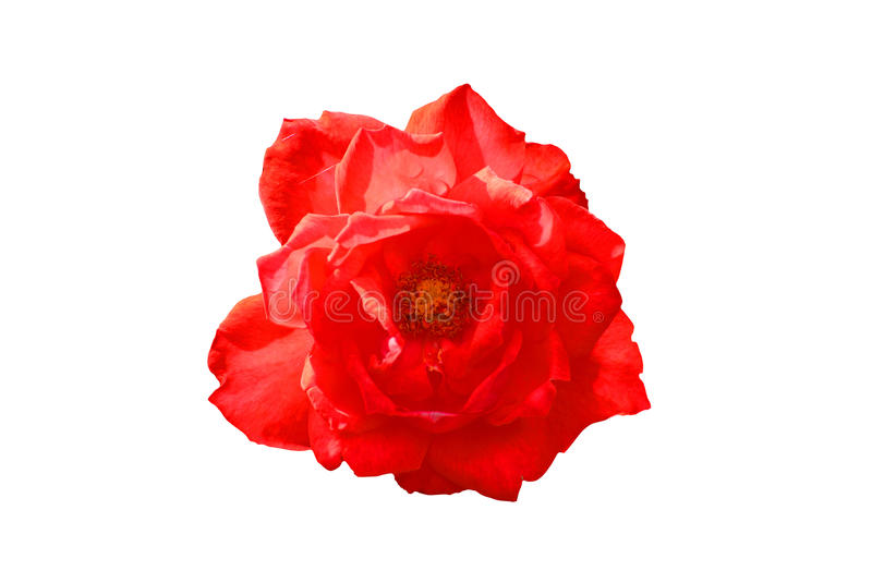 Download Red Rose On The White Background Stock Image - Image: 26083403