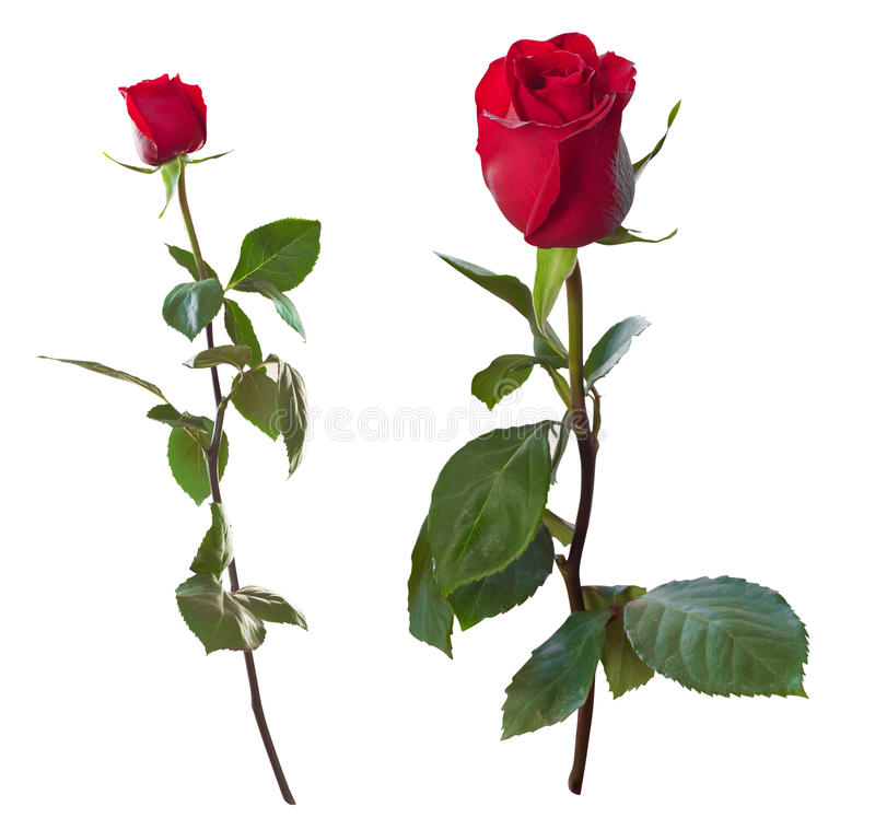 Red rose on a white background. Isolated (with clipping path royalty free stock photography