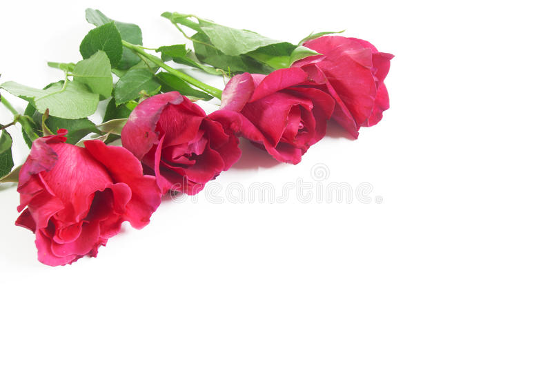 Red rose. On a white background stock image
