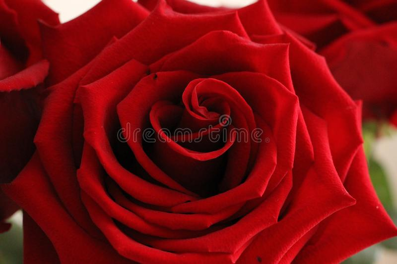 red rose on white background royalty free stock photo
