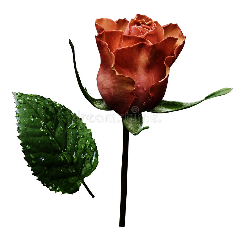 Red rose on white isolated background with clipping path. No shadows. Closeup. A flower on a stalk with green leaves after a ra stock photography