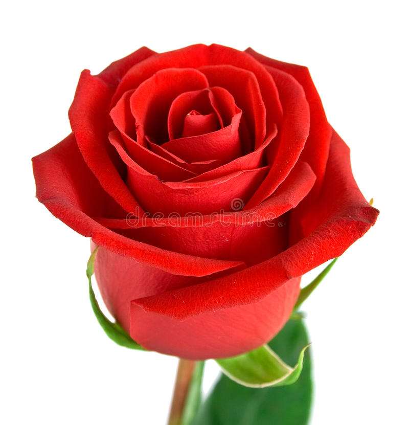 Free Red Rose With Green Leaves Stock Images - 11498384