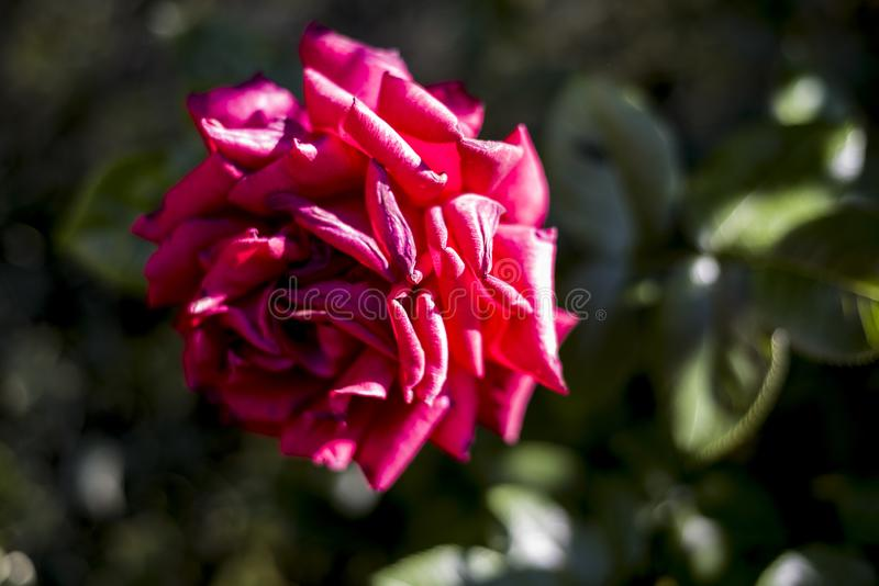 Red rose withering in the garden. On blurry green background royalty free stock photo