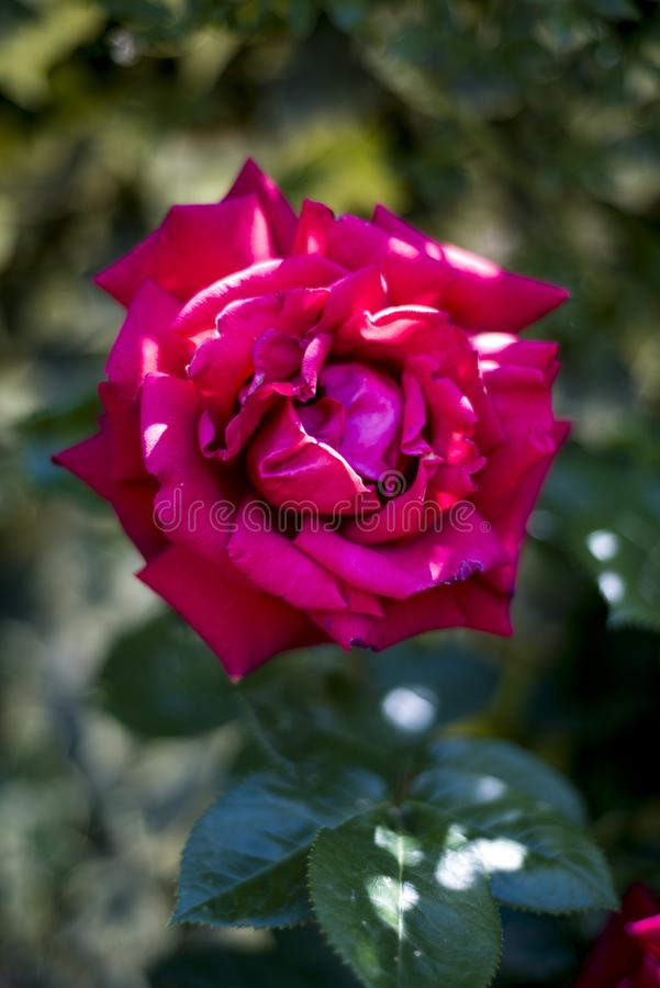 Red rose withering in the garden. At dawn on blurry background royalty free stock photography