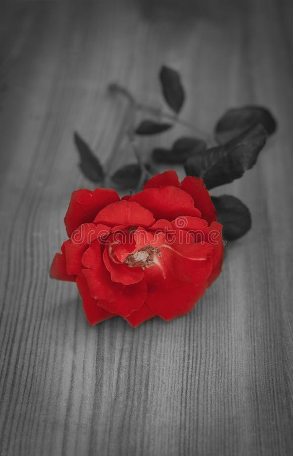 Red rose on wood close up - black and white with single flower colored. stock images