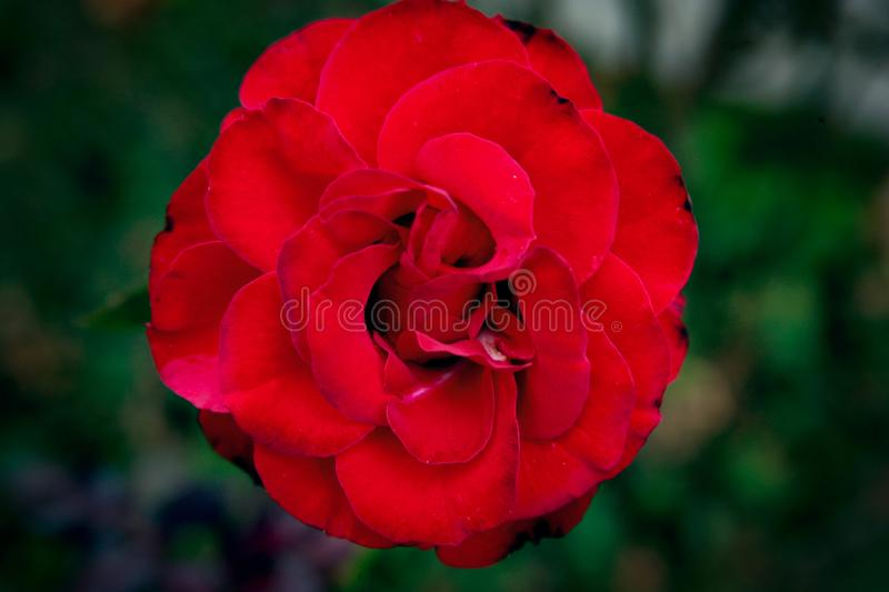 A red rose. A rose is a woody perennial flowering plant of the genus Rosa, in the family Rosaceae, or the flower it bears. There are over three hundred species royalty free stock photo