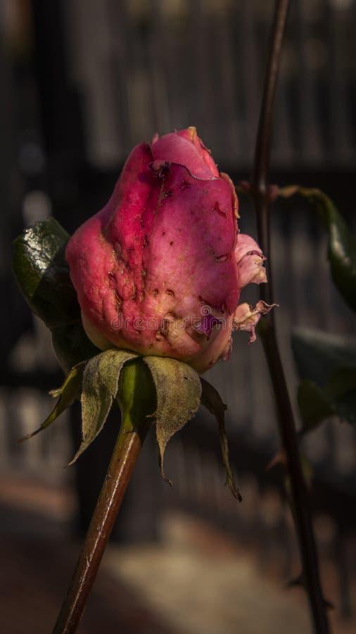 Red Rosebud i Garden arkivbilder