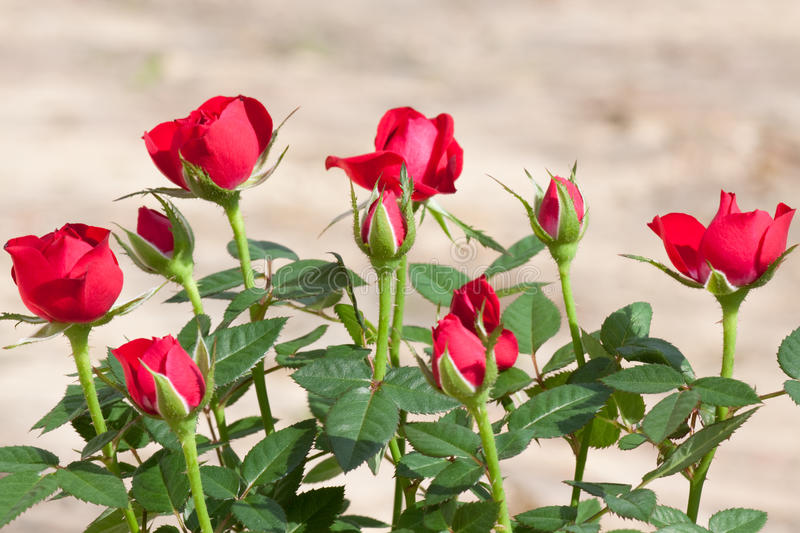 Red rosebush. In the garden stock photos