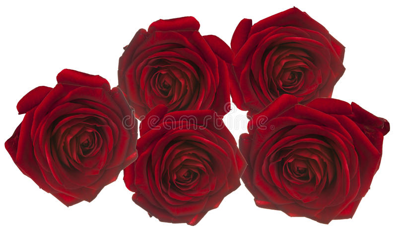 5 Red rosees for love on white. Red rosees for love on white background royalty free stock photo
