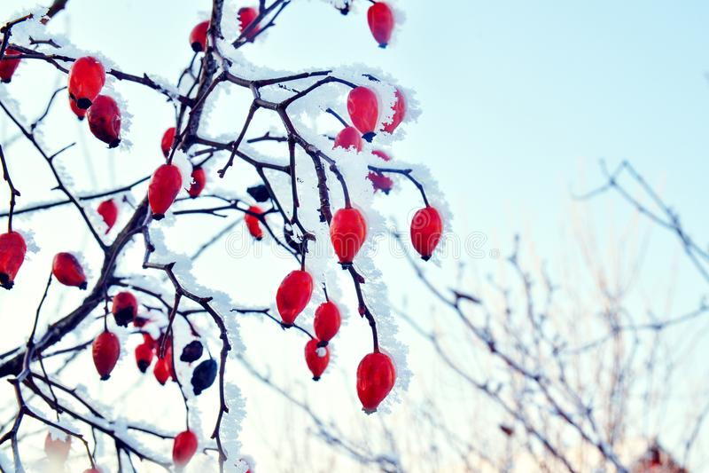 Red rosehip berries in the snow on the background of blue sky. Winter frosty day royalty free stock image