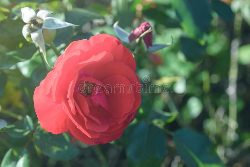 Red rosehip flower close-up. Bush of a Chinese rose.  royalty free stock image