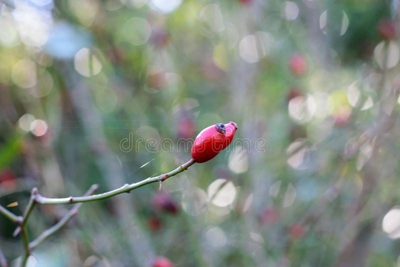 Red rosehip in the garden. stock photo