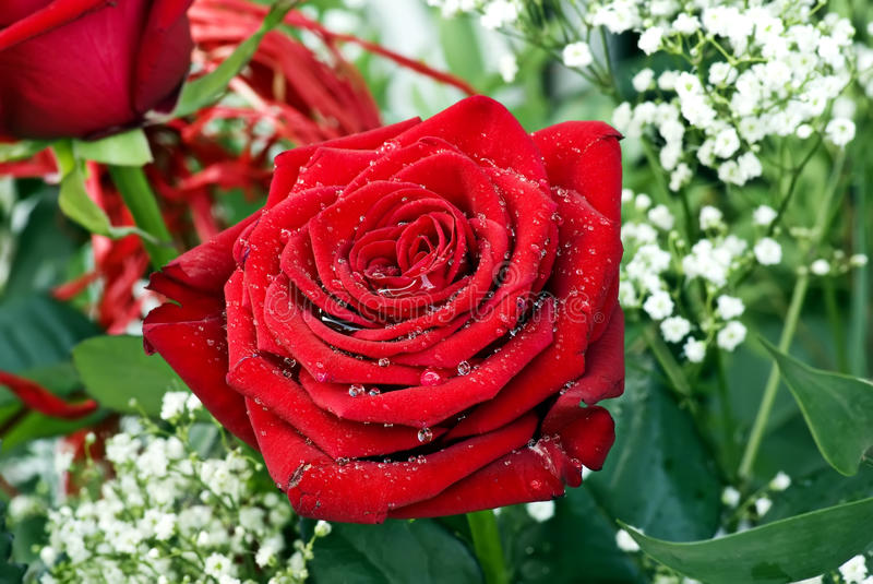 Red Roses. Red Rose with water drops as closeup stock photos