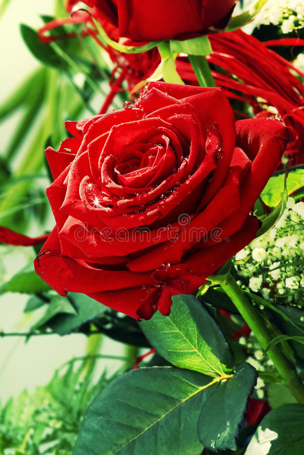 Red Roses. Red Rose with water drops as closeup stock images