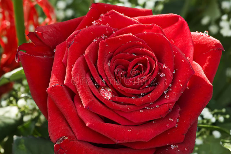 Red Roses. Red Rose with water drops as closeup stock photography
