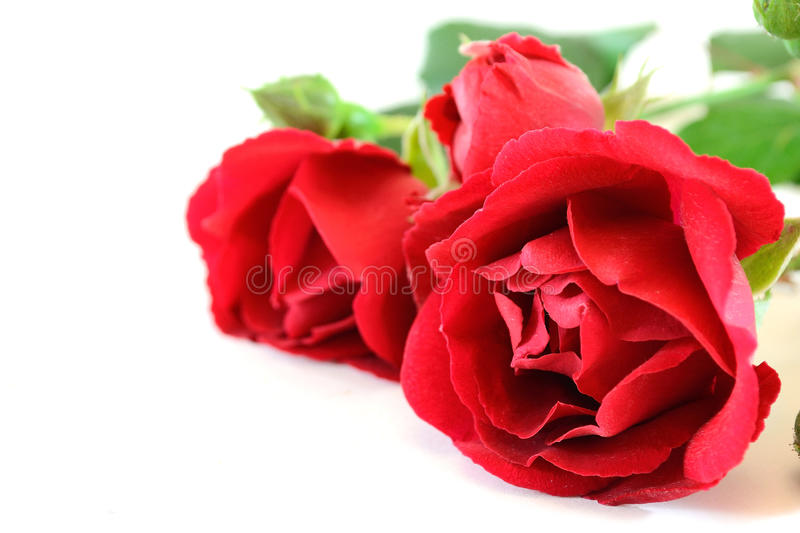 Red roses royalty free stock photo