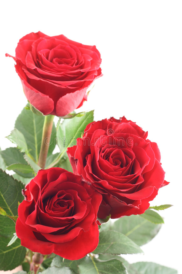 Download Red roses stock image. Image of gorgeous, flower, valentine - 3825379
