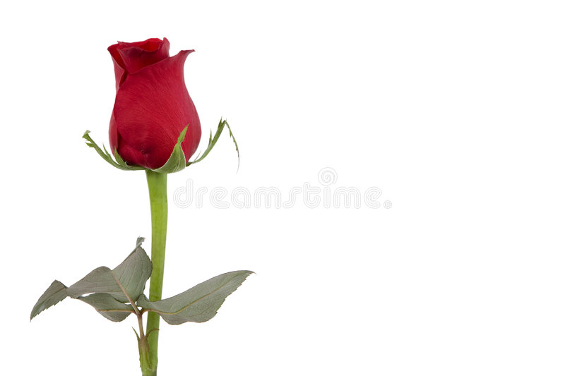 Red Roses. Are also signs of love stock photo