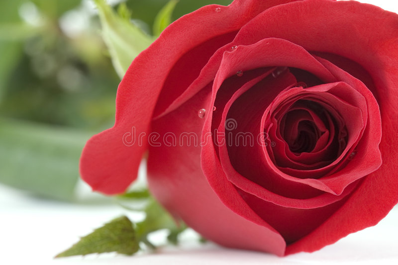 Red Roses. Are also signs of love stock photography
