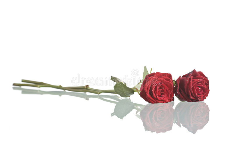 Red roses. Two red roses with reflection isolated on white background royalty free stock photos