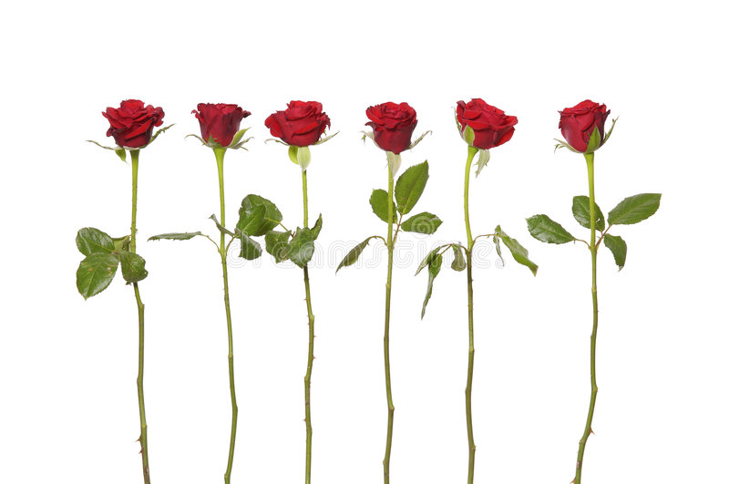 Red roses stock photos
