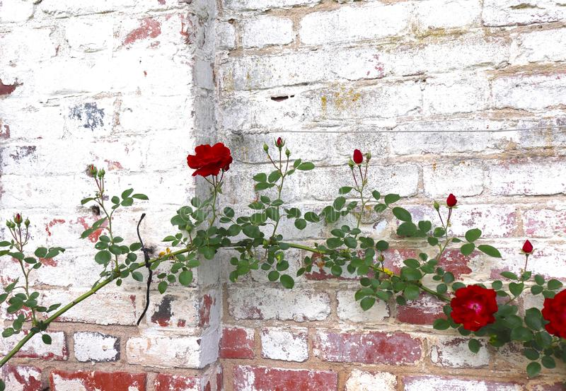 Red Roses Attached to White Brick Wall Make Decorative Sight at Historic Park stock images