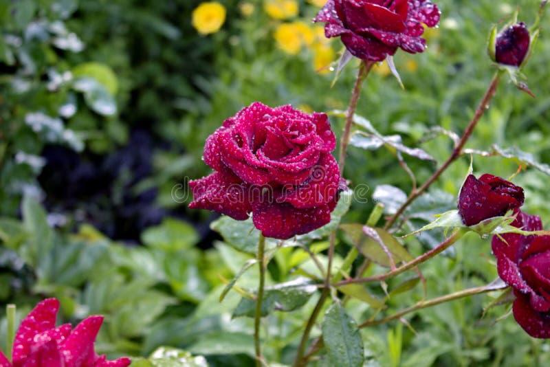 Red Roses. Bardovaya Grew Red Buds Rosa Buket Valentina Debutante Map stock images