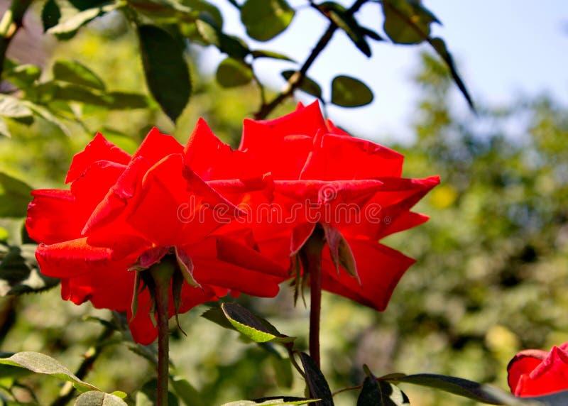 Red Roses. Bardovaya Grew Red Buds Rosa Red roses Buket Valentina Debutante Map royalty free stock photo