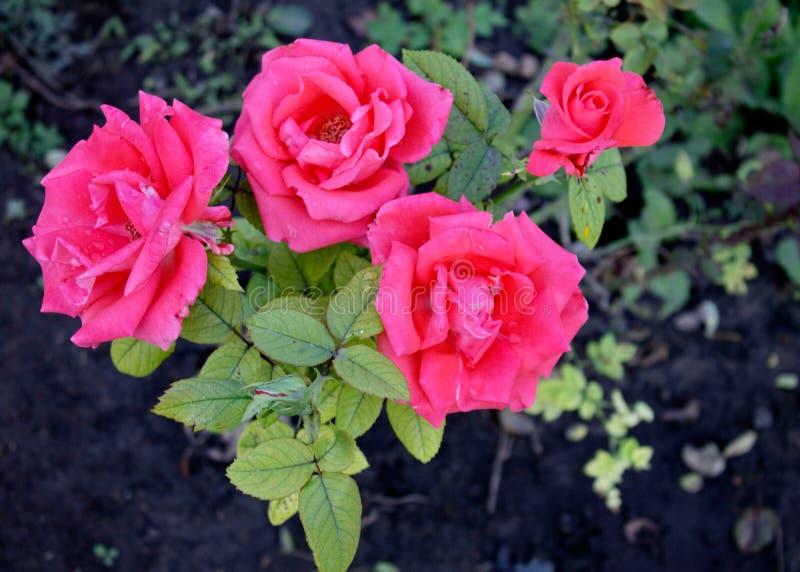 Red Roses. Bardovaya Grew Red Buds Rosa Red roses Buket Valentina Debutante Map royalty free stock photography