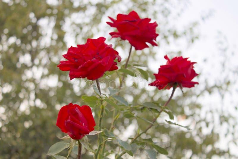 Red Roses. Bardovaya Grew Red Buds Rosa Red roses Buket Valentina Debutante Map royalty free stock images