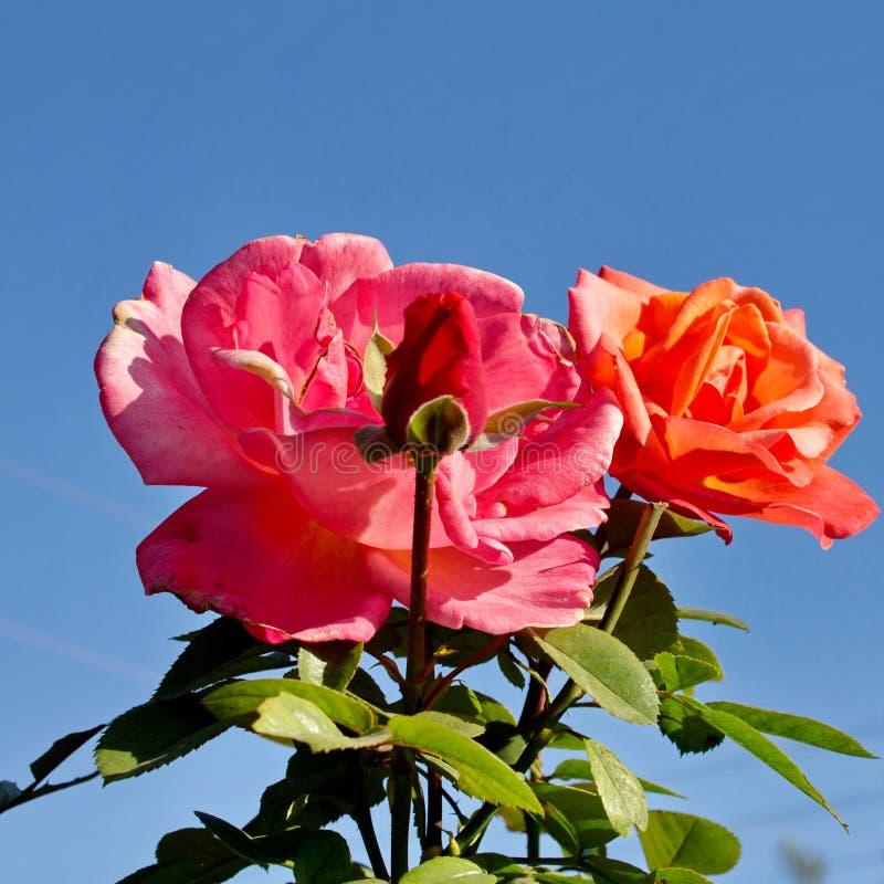 Red Roses. Bardovaya Grew Red Buds Rosa Red roses Buket Valentina Debutante Map royalty free stock image