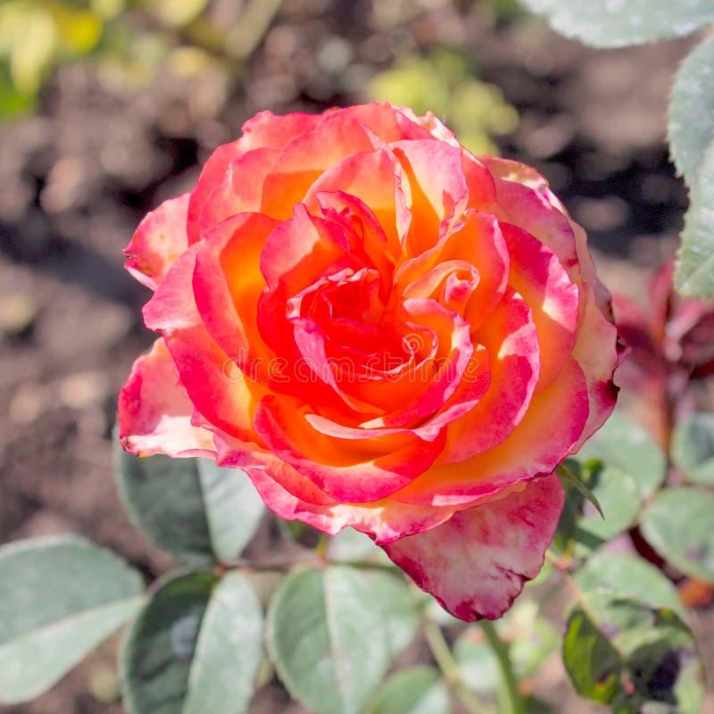 Red Roses. Bardovaya Grew Red Buds Rosa Red roses Buket Valentina Debutante Map stock images