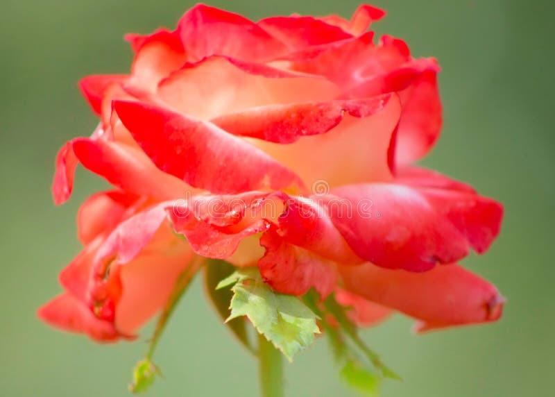 Red Roses. Bardovaya Grew Red Buds Rosa Buket Valentina Debutante Map stock photo