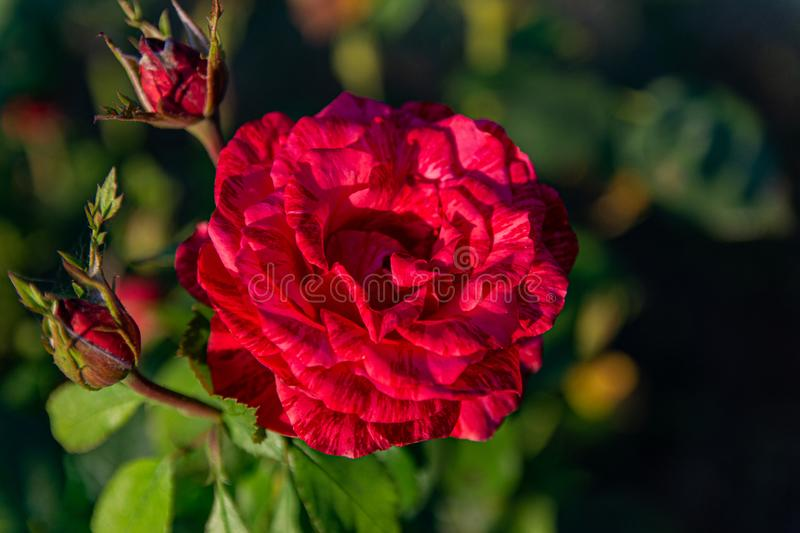 Red roses bloom in the rose garden on the background of red roses flowers in the sunset. Soft focus royalty free stock photography