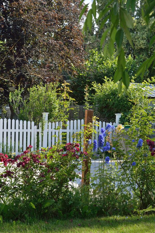Red Roses Blue Delphinium garden bed white picket fence stock photography