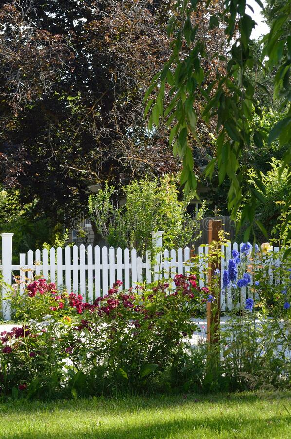 Red Roses Blue Delphinium garden bed white picket fence vertical royalty free stock photo