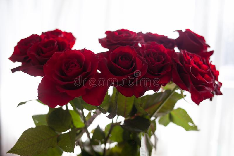Red roses on the blurred background royalty free stock photography