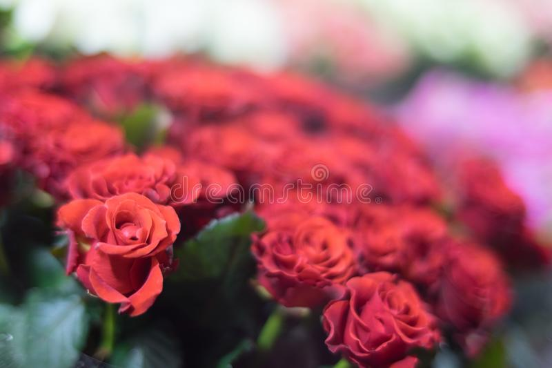 Red roses with blurred background royalty free stock image