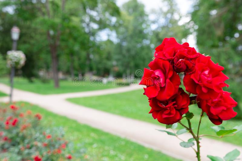 Red roses in the botanical garden, flowering roses in the park stock photos