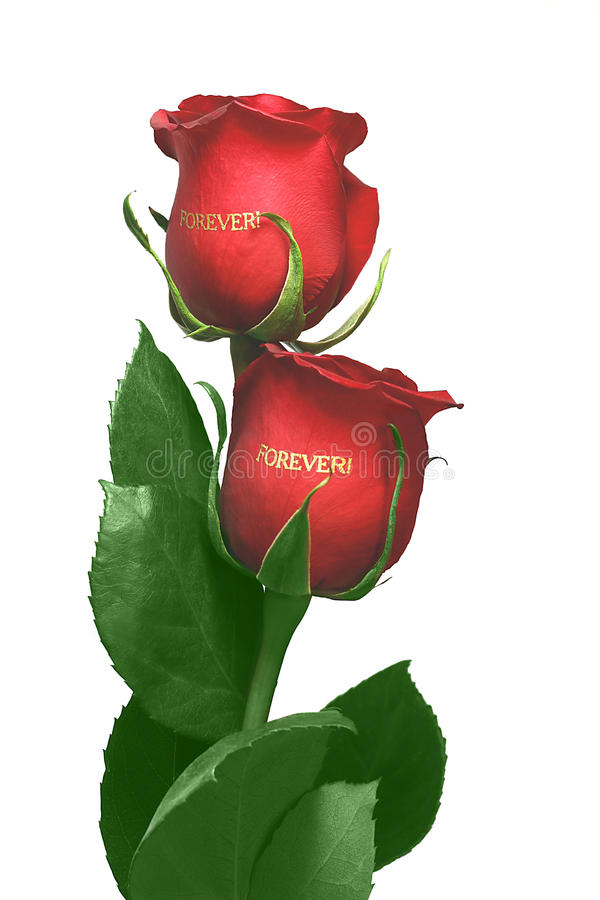 Red roses bud stock photos