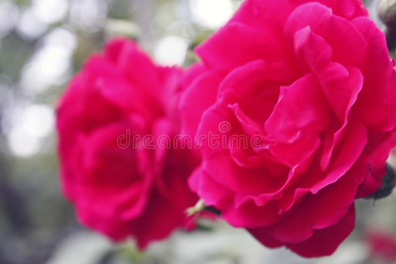 Red roses on a bush in the garden. Close-up. Red roses on a bush in the garden, flower, background, wedding, design, floral, water, love, border, pattern, summer stock images