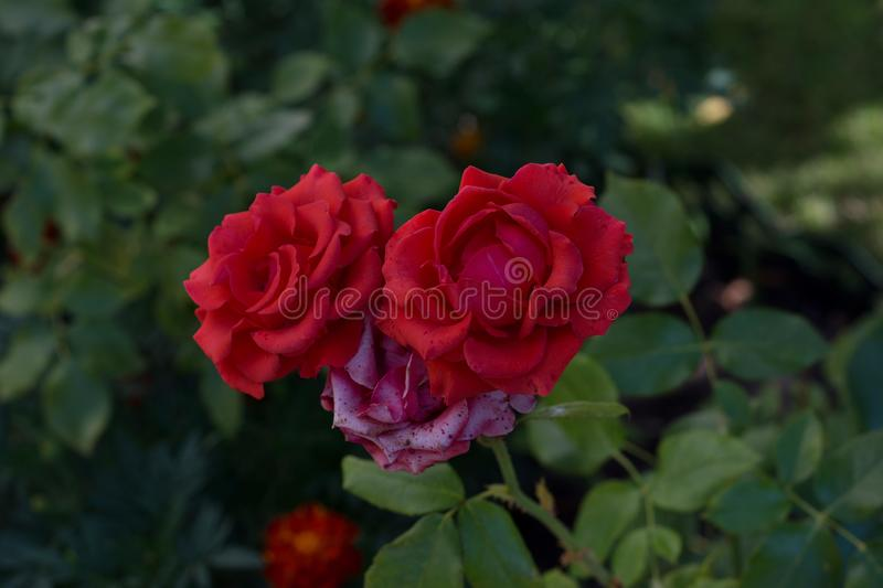 Red roses bush. Roses on green background royalty free stock image